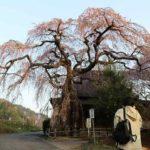 樹齢400年の西光寺の城山之桜です。
