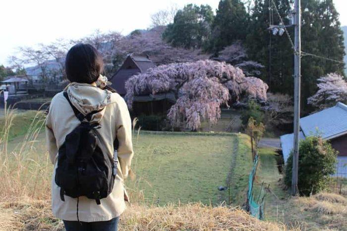 一本桜の名桜「城之山桜」です。