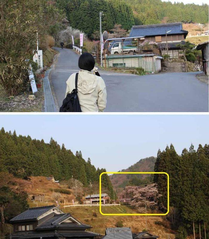 僅かですが城之山桜の姿が見えます。