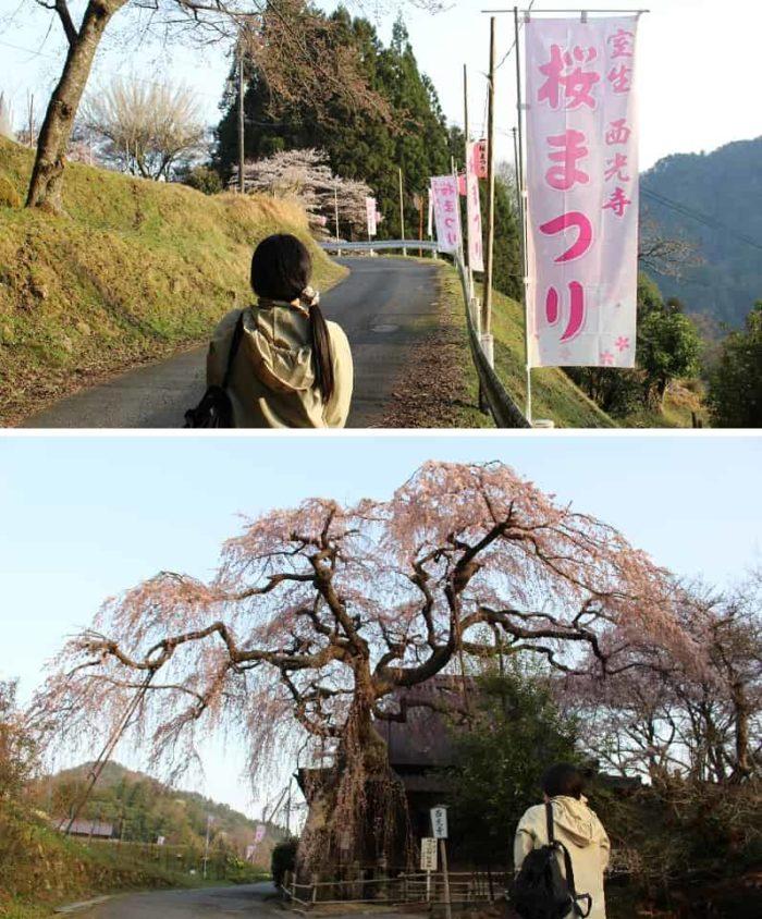 西光寺の城之山桜のお出迎えです。
