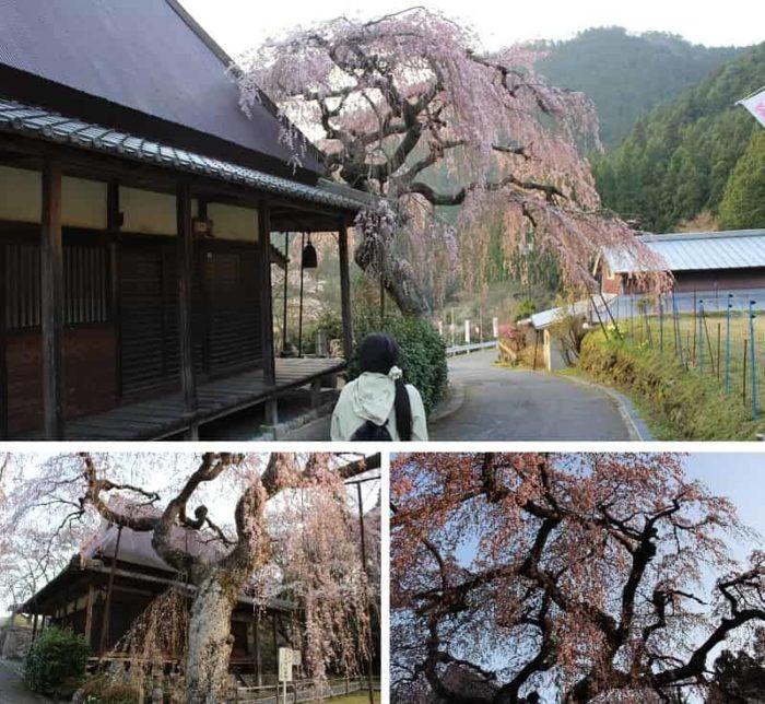 知る人ぞ知る一本桜の名桜です。