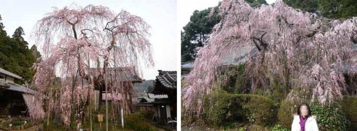 大野寺の2本の名桜「小糸しだれ桜」です。