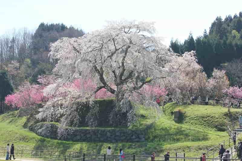 一本桜の名桜「又兵衛桜」です。