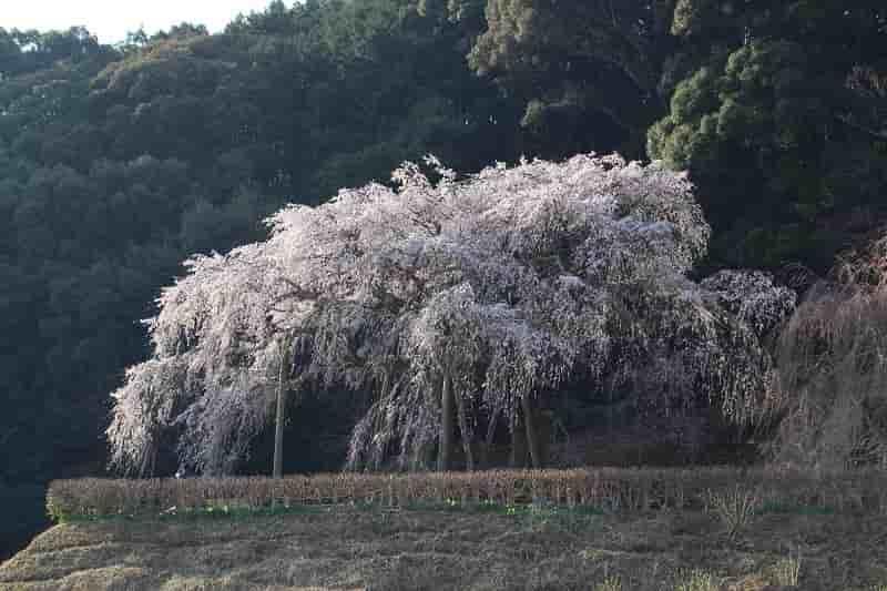 丘の上の名桜「奥山田のしだれ桜」です。