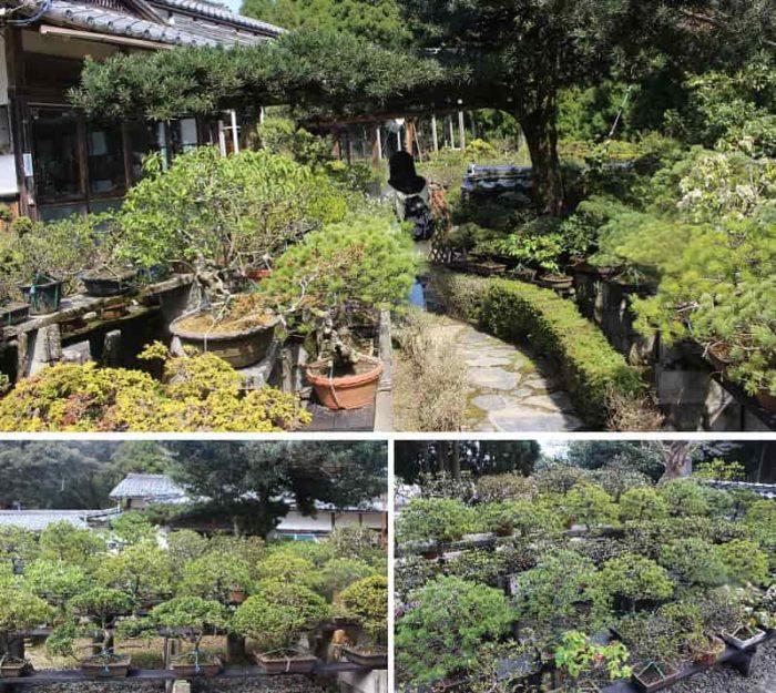 1000を越える盆栽が立ち並んでます。