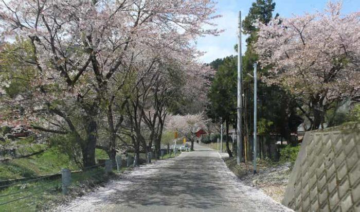 酒波寺周辺に立ち並ぶ桜並木です。
