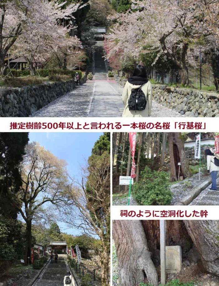 樹齢500年以上と言われる行基桜です。