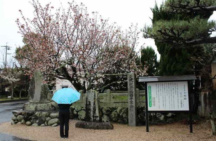 一年中花を咲かせる白子不断桜です。