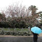 樹齢1250年と伝わる白子不断桜です。
