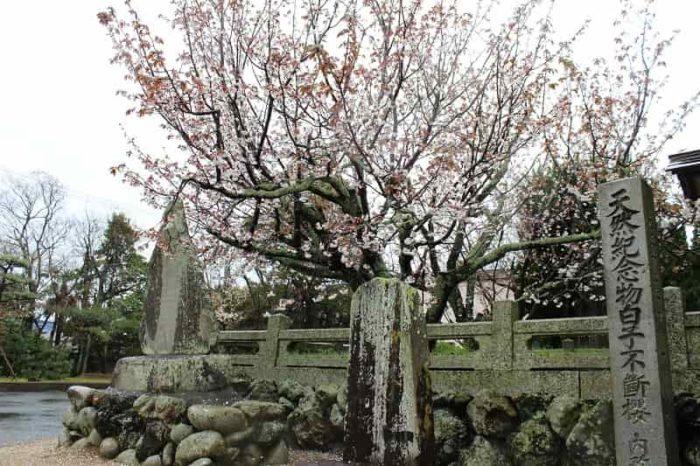 一本桜の名桜「白子不断桜」です。