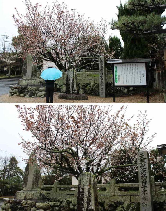子安観音寺の白子不断桜です。