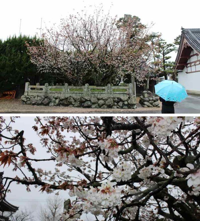 国の天然記念物となる白子不断桜です。