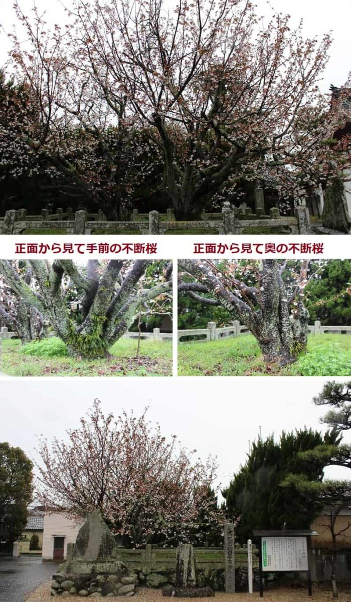 仲良く寄り添う2本の白子不断桜です。