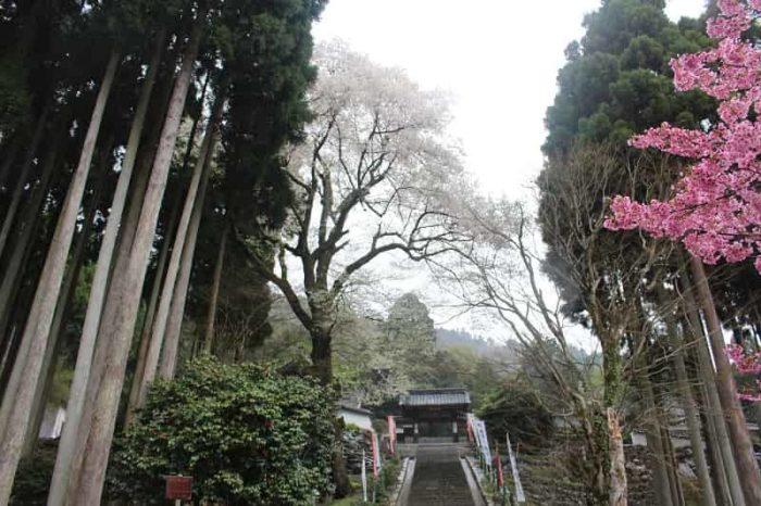 酒波寺の参道に立つ「行基桜」です。