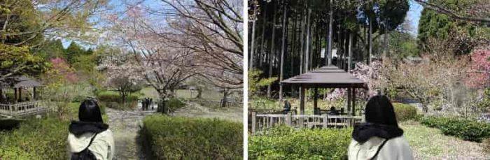 境内に咲き誇るソメイヨシノです。