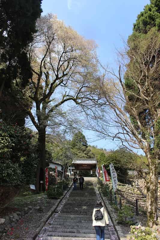 樹齢500年以上の「酒波寺の行基桜」です。