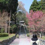 樹齢500年以上の名桜「行基桜」です。