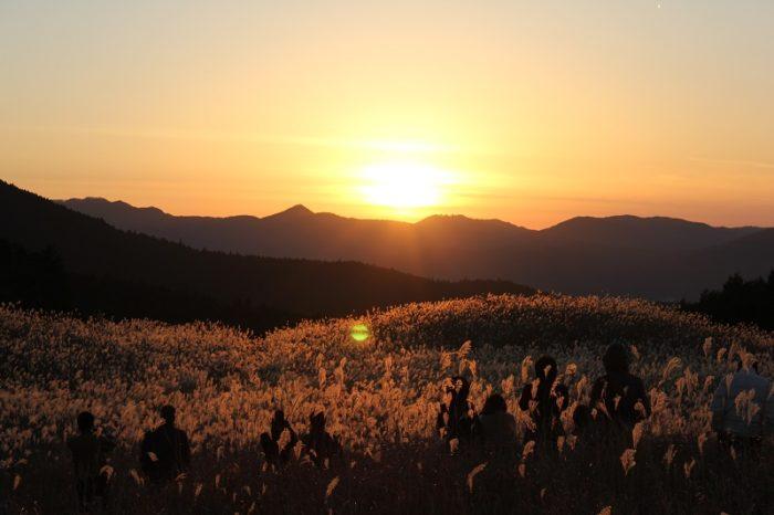 黄金色に輝くススキの草原です。