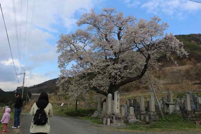 滋賀県下最大級の名桜「清水の桜」です。