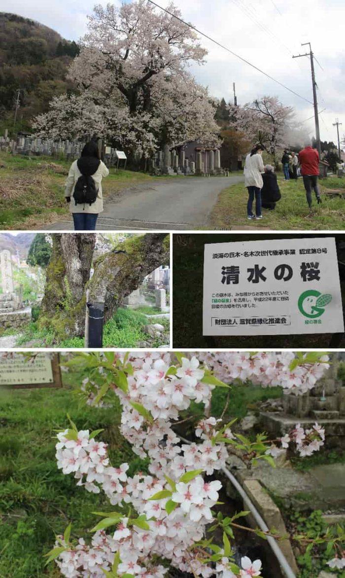 樹齢300年以上の巨桜「清水の桜」です。