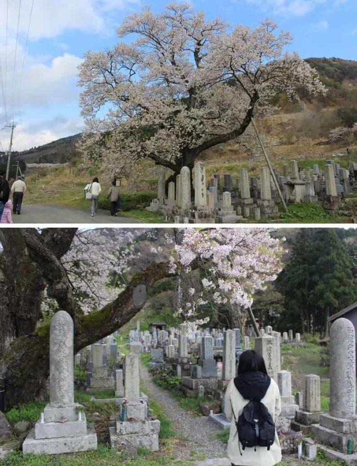 海津の墓地の一角に立つ「清水の桜」です。