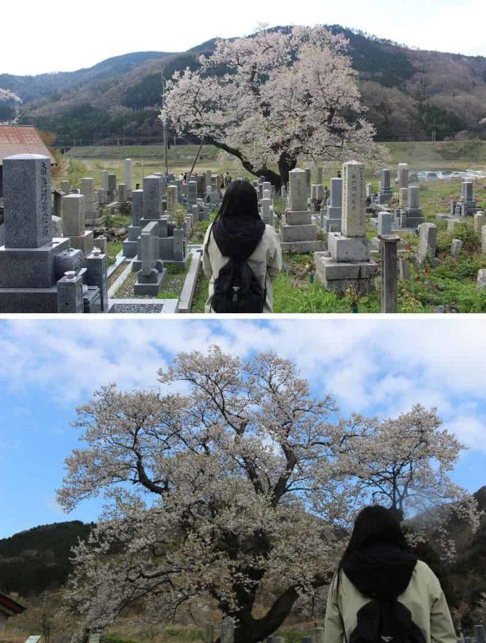「清水の桜」を360度の方向から観賞できます。