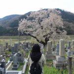 樹齢300年の古木の名桜「清水の桜」です。