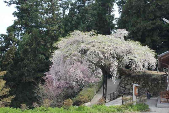 駐車場から眺める『瀧蔵権現桜』です。
