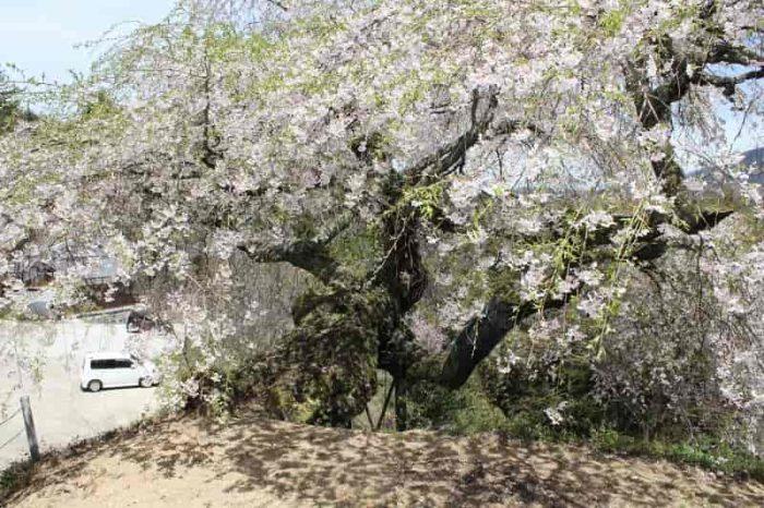 樹齢400年以上の『瀧蔵権現桜』です。