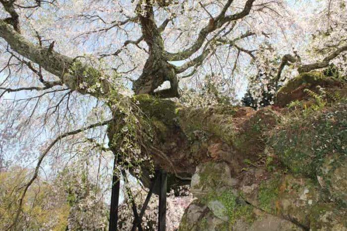 学術的にも価値の高い名桜です。