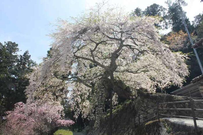 樹齢400年の瀧蔵権現桜です。