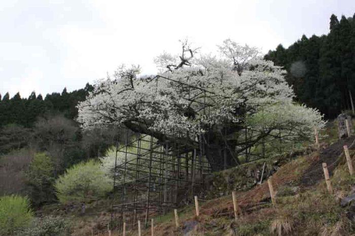 樹齢1000年の名桜『樽見の大桜』