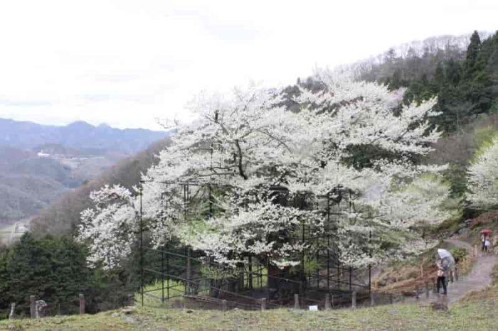 『仙桜』とも呼ばれ山の神が宿ります。
