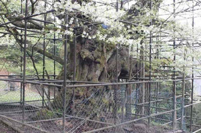 樽見の大桜を守る鎧となる櫓です。