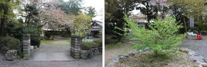 神代桜の苗木が植えられています。