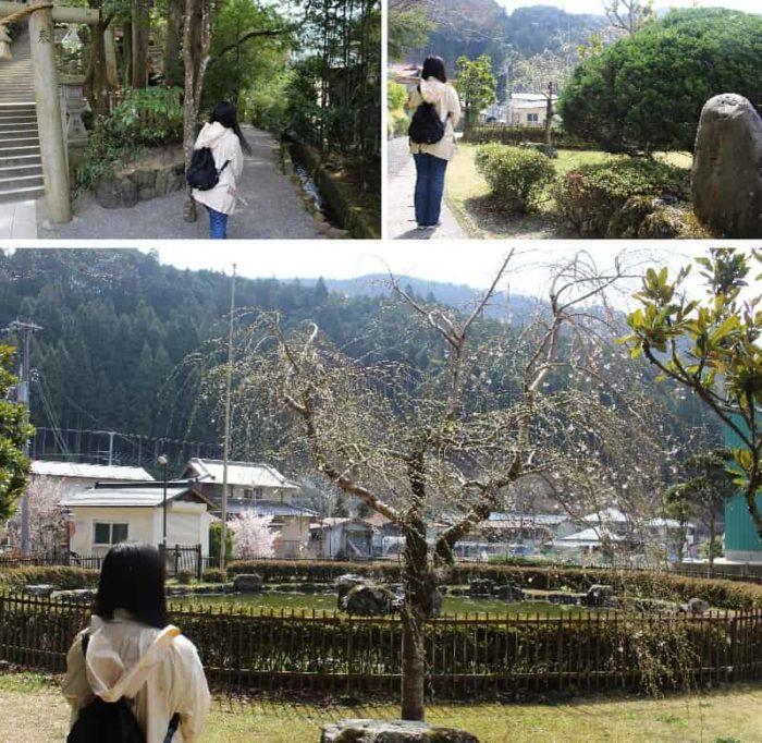 境内にある一本桜「弁天桜」です。