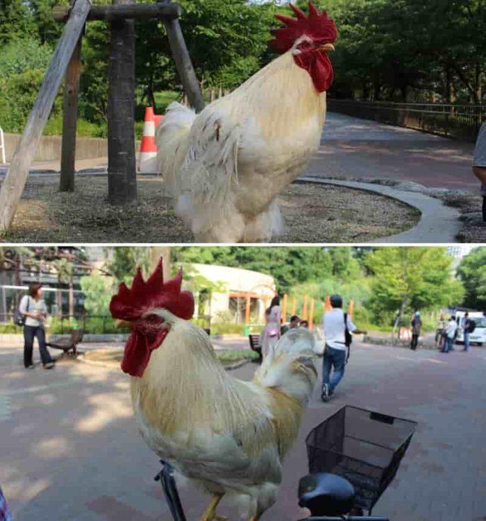 奇跡の鶏「まさひろ・よしと」です。