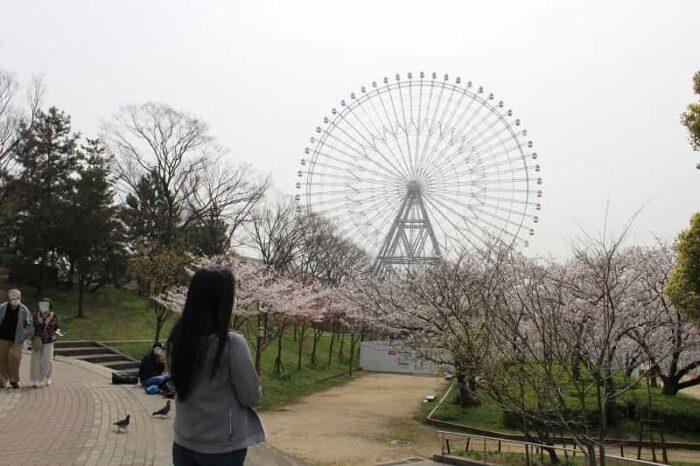 天保山公園に咲く桜です。