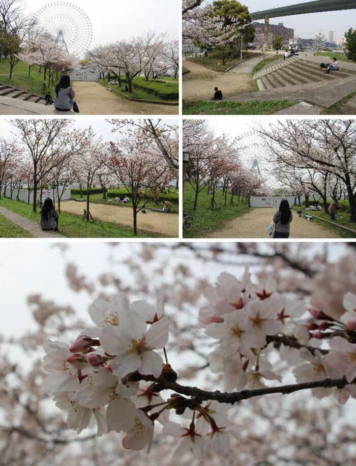 天保山公園の桜の様子です。