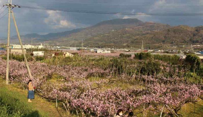 ひと目十万本を誇る桃源郷の桃畑です。