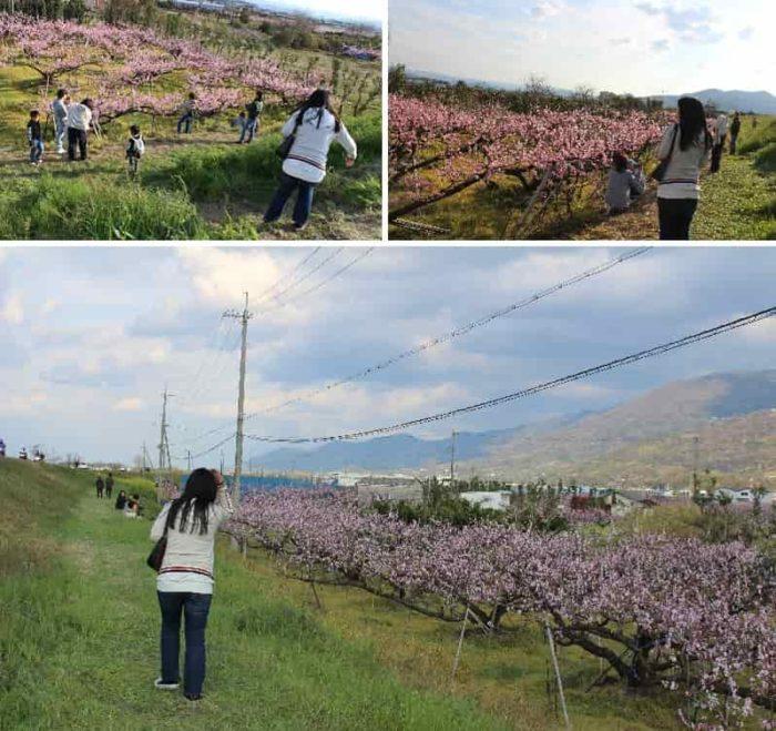 ひと目十万本の桃畑と言われます。
