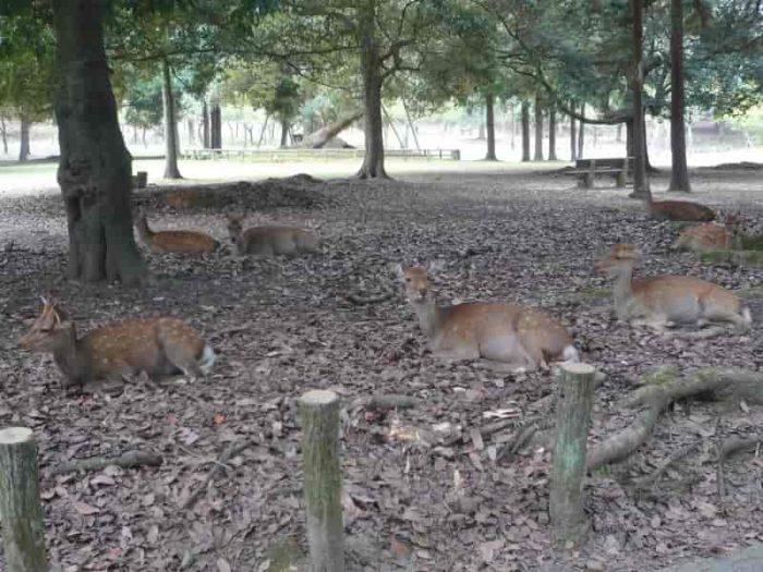 奈良公園にいる天然記念物の鹿です。