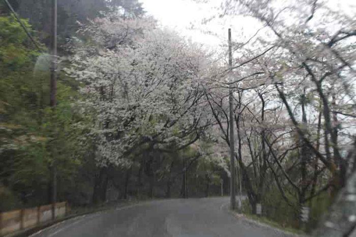 沿道に咲き乱れる約4000本の桜です。
