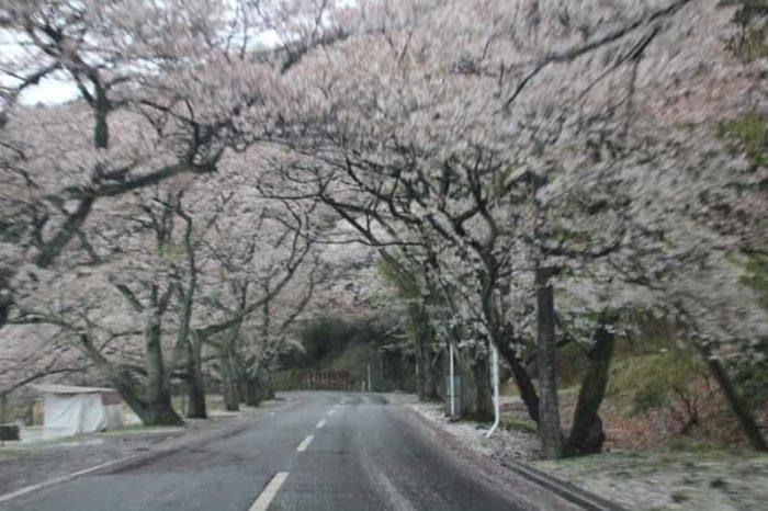 沿道を飾る約4000本の桜の木です。