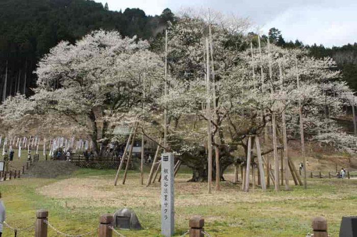 樹齢が1500年以上の名桜です。