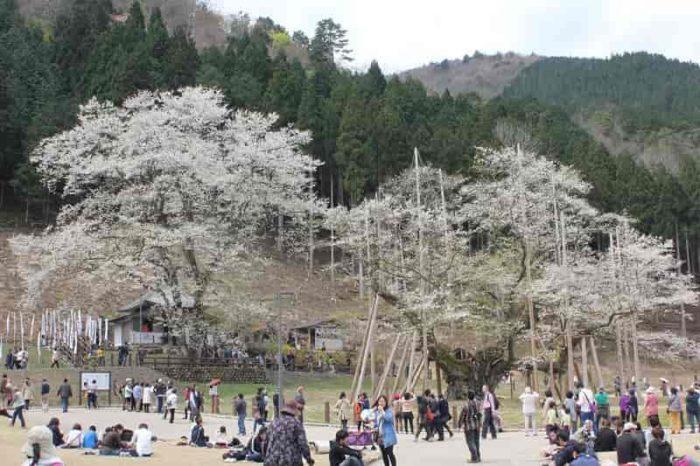 淡墨桜二世と名の付く名桜です。