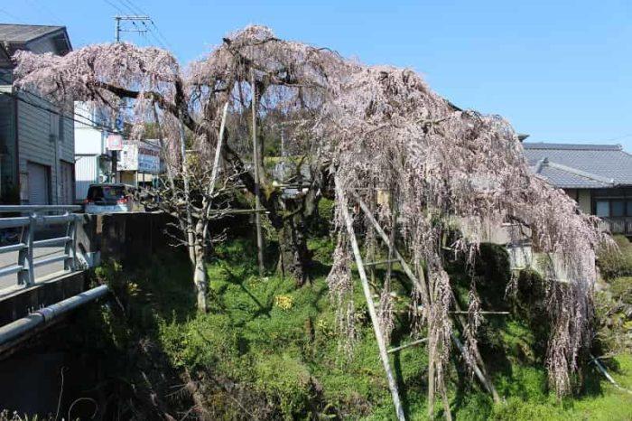 大阪随一のしだれ桜「若樫の百滝桜」です。