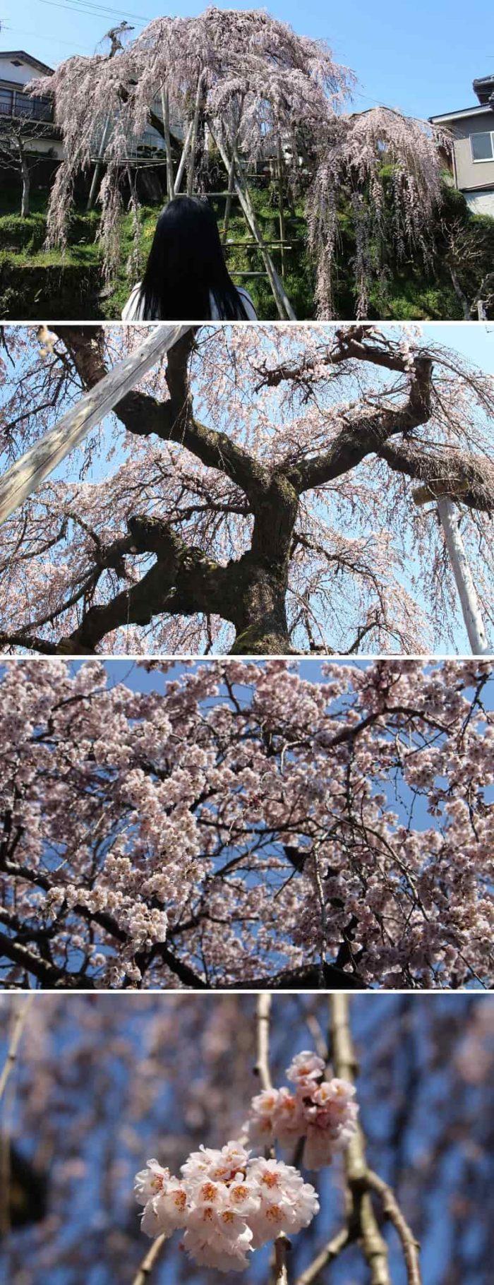 大阪髄一のしだれ桜の優美な姿です。