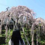 大阪随一名桜「若樫の百滝桜」です。