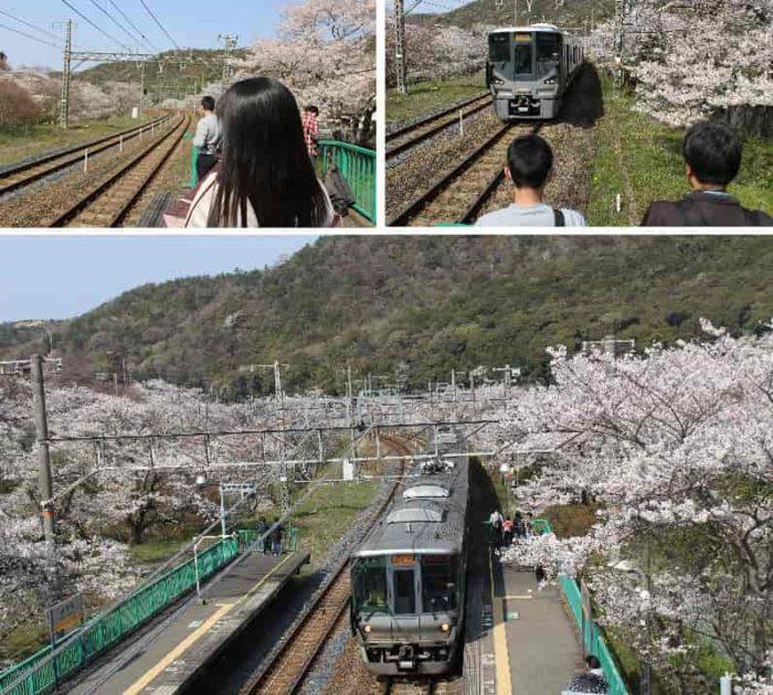 山中渓の桜並木と電車のコラボです。